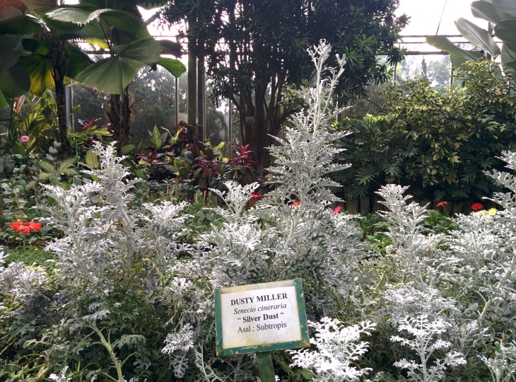 "DUSTY MILLER ""Silver Dust"" - Rumah Kaca"